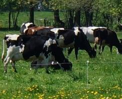 Cows crop